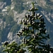 "<p><strong>Abies lasiocarpa - Subalpine Fir</strong></p><p><strong>Light: </strong><img src=""http://champoegnursery.com/wp-content/uploads/2014/09/icon_partial_shade.gif""/></p><p> <strong>Water: <img src=""http://champoegnursery.com/wp-content/uploads/2014/09/icon_moist.gif""/></p> <p> Max Height: </strong> 15 ft. <strong> Max Width: </strong> 8 ft. </p><p><strong>Description: </strong>A medium size tree with flat needles, found at higher elevations, usually just below the tree line. A popular Christmas tree. <strong>Zone: </strong>  5-8</p><p>    <img src=""http://champoegnursery.com/wp-content/uploads/2014/09/icon_wildlife.gif""/></p>"