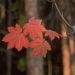 "<p><strong>Acer circinatum - Vine Maple</strong></p><p><strong>Light: </strong><img src=""http://champoegnursery.com/wp-content/uploads/2014/09/icon_full_sun.gif""/> / <img src=""http://champoegnursery.com/wp-content/uploads/2014/09/icon_partial_shade.gif""/> / <img src=""http://champoegnursery.com/wp-content/uploads/2014/09/icon_full_shade.gif""/>  </p><p> <strong>Water: <img src=""http://champoegnursery.com/wp-content/uploads/2014/09/icon_dry.gif""/> / <img src=""http://champoegnursery.com/wp-content/uploads/2014/09/icon_moist.gif""/></p> <p> Max Height: </strong> 25 ft. <strong> Max Width: </strong> 15 ft. </p><p><strong>Description: </strong>Upright small tree or multi-branched shrub.  Displays an excellent fall color as its green leaves of spring turn yellow, orange and crimson in the fall. <strong>Zone: </strong>  5-7</p><p>    <img src=""http://champoegnursery.com/wp-content/uploads/2014/09/icon_wildlife.gif""/></p>"