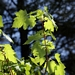 "<p><strong>Acer glabrum - Rocky Mountain Maple</strong></p><p><strong>Light: </strong><img src=""http://champoegnursery.com/wp-content/uploads/2014/09/icon_full_sun.gif""/> / <img src=""http://champoegnursery.com/wp-content/uploads/2014/09/icon_partial_shade.gif""/> / <img src=""http://champoegnursery.com/wp-content/uploads/2014/09/icon_full_shade.gif""/>  </p><p> <strong>Water: <img src=""http://champoegnursery.com/wp-content/uploads/2014/09/icon_dry.gif""/> / <img src=""http://champoegnursery.com/wp-content/uploads/2014/09/icon_moist.gif""/></p> <p> Max Height: </strong> 30 ft. <strong> Max Width: </strong> 15 ft. </p><p><strong>Description: </strong>A cold hardy, multi-trunked deciduous tree or small shrub.  Its fall leaf color ranges from orange and red to yellow. <strong>Zone: </strong>  3-6</p><p>    <img src=""http://champoegnursery.com/wp-content/uploads/2014/09/icon_wildlife.gif""/></p>"