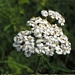 "<p><strong>Achillea millefolium - Western Yarrow</strong></p><p><strong>Light: </strong><img src=""http://champoegnursery.com/wp-content/uploads/2014/09/icon_full_sun.gif""/> / <img src=""http://champoegnursery.com/wp-content/uploads/2014/09/icon_partial_shade.gif""/></p><p> <strong>Water: <img src=""http://champoegnursery.com/wp-content/uploads/2014/09/icon_dry.gif""/> / <img src=""http://champoegnursery.com/wp-content/uploads/2014/09/icon_moist.gif""/></p> <p> Max Height: </strong> 18  in. <strong> Max Width: </strong> 12  in. </p><p><strong>Description: </strong>This is a perennial and very fragrant herbaceous plant with clusters of white to pink flowers. <strong>Zone: </strong>  3-9</p><p><img src=""http://champoegnursery.com/wp-content/uploads/2014/09/icon_butterfly.gif""/>    <img src=""http://champoegnursery.com/wp-content/uploads/2014/09/icon_wildlife.gif""/></p>"