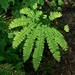 "<p><strong>Adiantum aleuticum - Maidenhair Fern</strong></p><p><strong>Light: </strong><img src=""http://champoegnursery.com/wp-content/uploads/2014/09/icon_full_shade.gif""/> / <img src=""http://champoegnursery.com/wp-content/uploads/2014/09/icon_partial_shade.gif""/></p><p> <strong>Water: <img src=""http://champoegnursery.com/wp-content/uploads/2014/09/icon_wet.gif""/> / <img src=""http://champoegnursery.com/wp-content/uploads/2014/09/icon_moist.gif""/></p> <p> Max Height: </strong> 24  in. <strong> Max Width: </strong> 18  in. </p><p><strong>Description: </strong>A delicate fern grown from a stout rhizome.  Its leaves are light green with lustrous purplish-black stems. <strong>Zone: </strong>  1-9</p><p>    <img src=""http://champoegnursery.com/wp-content/uploads/2014/09/icon_wildlife.gif""/></p>"