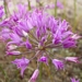 <p><strong>Allium acuminatum - Taper-tip Onion</strong></p>