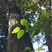 "<p><strong>Alnus rhombifolia - White Alder</strong></p><p><strong>Light: </strong><img src=""http://champoegnursery.com/wp-content/uploads/2014/09/icon_full_sun.gif""/> / <img src=""http://champoegnursery.com/wp-content/uploads/2014/09/icon_partial_shade.gif""/></p><p> <strong>Water: <img src=""http://champoegnursery.com/wp-content/uploads/2014/09/icon_dry.gif""/> / <img src=""http://champoegnursery.com/wp-content/uploads/2014/09/icon_moist.gif""/></p> <p> Max Height: </strong> 80 ft. <strong> Max Width: </strong> 30 ft. </p><p><strong>Description: </strong>A deciduous tree that can withstand summer droughts as well as winter floods and is extremely important for restoration projects because its roots are densely tied together and hold stream banks intact. <strong>Zone: </strong> 6</p><p>    <img src=""http://champoegnursery.com/wp-content/uploads/2014/09/icon_wildlife.gif""/></p>"
