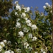 "<p><strong>Amelanchier alnifolia - Western Serviceberry</strong></p><p><strong>Light: </strong><img src=""http://champoegnursery.com/wp-content/uploads/2014/09/icon_full_sun.gif""/> / <img src=""http://champoegnursery.com/wp-content/uploads/2014/09/icon_partial_shade.gif""/></p><p> <strong>Water: <img src=""http://champoegnursery.com/wp-content/uploads/2014/09/icon_dry.gif""/> / <img src=""http://champoegnursery.com/wp-content/uploads/2014/09/icon_moist.gif""/></p> <p> Max Height: </strong> 25 ft. <strong> Max Width: </strong> 15 ft. </p><p><strong>Description: </strong>A deciduous shrub that displays white spring flowers, a deep green foliage that becomes very showy in the fall and produces tasty purple berries.  It is highly tolerant of various soils, climates and drought. <strong>Zone: </strong>  3-6</p><p><img src=""http://champoegnursery.com/wp-content/uploads/2014/09/icon_butterfly.gif""/>    <img src=""http://champoegnursery.com/wp-content/uploads/2014/09/icon_wildlife.gif""/></p>"