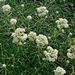 "<p><strong>Anaphalis margaritacea - Pearly Everlasting</strong></p><p><strong>Light: </strong><img src=""http://champoegnursery.com/wp-content/uploads/2014/09/icon_full_sun.gif""/> / <img src=""http://champoegnursery.com/wp-content/uploads/2014/09/icon_partial_shade.gif""/></p><p> <strong>Water: <img src=""http://champoegnursery.com/wp-content/uploads/2014/09/icon_dry.gif""/> / <img src=""http://champoegnursery.com/wp-content/uploads/2014/09/icon_moist.gif""/></p> <p> Max Height: </strong> 36  in. <strong> Max Width: </strong> 36  in. </p><p><strong>Description: </strong>A vigorous clump forming plant with white papery bracts surrounding yellow flowers that begin forming in mid-summer.  Its leaves are white and turn gray green on the top of the leaf as they age. <strong>Zone: </strong>  7-9</p><p><img src=""http://champoegnursery.com/wp-content/uploads/2014/09/icon_butterfly.gif""/>    <img src=""http://champoegnursery.com/wp-content/uploads/2014/09/icon_wildlife.gif""/></p>"