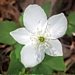 <p><strong>Anemone deltoidea - Three-Leaved Anemone</strong></p>
