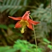 <p><strong>Aquilegia formosa - Red Columbine</strong></p>
