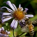 "<p><strong>Aster subspicatus - Douglas Aster</strong></p><p><strong>Light: </strong><img src=""http://champoegnursery.com/wp-content/uploads/2014/09/icon_full_sun.gif""/> / <img src=""http://champoegnursery.com/wp-content/uploads/2014/09/icon_partial_shade.gif""/></p><p> <strong>Water: <img src=""http://champoegnursery.com/wp-content/uploads/2014/09/icon_moist.gif""/></p> <p> Max Height: </strong> 36  in. <strong> Max Width: </strong> 12  in. </p><p><strong>Description: </strong>A perennial wildflower that appears in moist places and begins flowering in late summer. <strong>Zone: </strong>  7-9</p><p><img src=""http://champoegnursery.com/wp-content/uploads/2014/09/icon_butterfly.gif""/>    <img src=""http://champoegnursery.com/wp-content/uploads/2014/09/icon_wildlife.gif""/></p>"