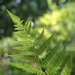 "<p><strong>Athyrium filix-femina - Lady Fern</strong></p><p><strong>Light: </strong><img src=""http://champoegnursery.com/wp-content/uploads/2014/09/icon_full_shade.gif""/>/ <img src=""http://champoegnursery.com/wp-content/uploads/2014/09/icon_partial_shade.gif""/></p><p> <strong>Water: <img src=""http://champoegnursery.com/wp-content/uploads/2014/09/icon_moist.gif""/></p> <p> Max Height: </strong> 4 ft. <strong> Max Width: </strong> 4 ft. </p><p><strong>Description: </strong>A lacy, deciduous, densely clumping, perennial fern with bright green, tufted and erect fronds and stout roots. <strong>Zone: </strong>  7-9</p><p>    <img src=""http://champoegnursery.com/wp-content/uploads/2014/09/icon_wildlife.gif""/></p>"