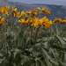 "<p><strong>Balsalmhoriza sagitata - Arrow-leaf Balsamroot</strong></p><p><strong>Light: </strong><img src=""http://champoegnursery.com/wp-content/uploads/2014/09/icon_full_sun.gif""/>  </p><p> <strong>Water: <img src=""http://champoegnursery.com/wp-content/uploads/2014/09/icon_moist.gif""/></p> <p> Max Height: </strong> 8 in. <strong> Max Width: </strong> 24 in. </p><p><strong>Description: </strong>Silvery leaves with yellow, sunflower-like flowers. <strong>Zone: </strong>  3-9</p><p><img src=""http://champoegnursery.com/wp-content/uploads/2014/09/icon_butterfly.gif""/>    <img src=""http://champoegnursery.com/wp-content/uploads/2014/09/icon_wildlife.gif""/></p>"