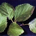 <p><strong>Betula occidentalis - Water Birch</strong></p>