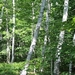 "<p><strong>Betula papyrifera - Paper Birch</strong></p><p><strong>Light: </strong><img src=""http://champoegnursery.com/wp-content/uploads/2014/09/icon_full_sun.gif""/> / <img src=""http://champoegnursery.com/wp-content/uploads/2014/09/icon_partial_shade.gif""/></p><p> <strong>Water: <img src=""http://champoegnursery.com/wp-content/uploads/2014/09/icon_wet.gif""/> / <img src=""http://champoegnursery.com/wp-content/uploads/2014/09/icon_moist.gif""/></p> <p> Max Height: </strong> 100 ft. <strong> Max Width: </strong> 25 ft. </p><p><strong>Description: </strong>This deciduous tree produces green leaves that turn yellow in fall.  Grows in moist soils. <strong>Zone: </strong>  2-6</p><p>    <img src=""http://champoegnursery.com/wp-content/uploads/2014/09/icon_wildlife.gif""/></p>"
