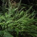 "<p><strong>Blechnum spicant - Deer Fern</strong></p><p><strong>Light: </strong><img src=""http://champoegnursery.com/wp-content/uploads/2014/09/icon_full_shade.gif""/> / <img src=""http://champoegnursery.com/wp-content/uploads/2014/09/icon_partial_shade.gif""/></p><p> <strong>Water: <img src=""http://champoegnursery.com/wp-content/uploads/2014/09/icon_wet.gif""/> / <img src=""http://champoegnursery.com/wp-content/uploads/2014/09/icon_moist.gif""/></p> <p> Max Height: </strong> 36  in. <strong> Max Width: </strong> 48  in. </p><p><strong>Description: </strong>This evergreen plant has purple/brown stems and blooms continuously.  Prefers rather wet,acidic soil.  Deer and elk eat this fern in the winter. <strong>Zone: </strong>  7-9</p><p>    <img src=""http://champoegnursery.com/wp-content/uploads/2014/09/icon_wildlife.gif""/></p>"