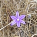 "<p><strong>Brodiaea coronaria - Harvest Brodiaea</strong></p><p><strong>Light: </strong><img src=""http://champoegnursery.com/wp-content/uploads/2014/09/icon_full_sun.gif""/> / <img src=""http://champoegnursery.com/wp-content/uploads/2014/09/icon_partial_shade.gif""/></p><p> <strong>Water: <img src=""http://champoegnursery.com/wp-content/uploads/2014/09/icon_dry.gif""/> / <img src=""http://champoegnursery.com/wp-content/uploads/2014/09/icon_moist.gif""/></p> <p> Max Height: </strong> 12  in. <strong> Max Width: </strong> 4  in. </p><p><strong>Description: </strong>A small violet-purple flower common in grassy meadows as well as rocky areas. <strong>Zone: </strong>  5-7</p><p><img src=""http://champoegnursery.com/wp-content/uploads/2014/09/icon_butterfly.gif""/>    <img src=""http://champoegnursery.com/wp-content/uploads/2014/09/icon_wildlife.gif""/></p>"