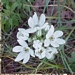 "<p><strong>Brodiaea hyacinthina - Fools Onion</strong></p><p><strong>Light: </strong><img src=""http://champoegnursery.com/wp-content/uploads/2014/06/icon_availability_bulbs.gif""/>  Bulb  </p><p> <strong>Water: <img src=""http://champoegnursery.com/wp-content/uploads/2014/09/icon_dry.gif""/></p> <p> Max Height: </strong> 24  in. <strong> Max Width: </strong> 4  in. </p><p><strong>Description: </strong>This perennial herbaceous plant is low growing and has purple and yellow flowers. <strong>Zone: </strong>  5-7</p><p><img src=""http://champoegnursery.com/wp-content/uploads/2014/09/icon_butterfly.gif""/>    <img src=""http://champoegnursery.com/wp-content/uploads/2014/09/icon_wildlife.gif""/></p>"