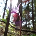 "<p><strong>Calypso bulbosa - Fairy Slipper</strong></p><p><strong>Light: </strong><img src=""http://champoegnursery.com/wp-content/uploads/2014/09/icon_full_shade.gif""/>/ <img src=""http://champoegnursery.com/wp-content/uploads/2014/09/icon_partial_shade.gif""/></p><p> <strong>Water: <img src=""http://champoegnursery.com/wp-content/uploads/2014/09/icon_moist.gif""/></p> <p> Max Height: </strong> 8  in. <strong> Max Width: </strong> 6  in. </p><p><strong>Description: </strong>A small native orchid that blooms in early spring and has a delicate beauty. <strong>Zone: </strong>  7-9</p><p>    </p>"