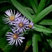 "<p><strong>Aster modestus - Great Northern Aster</strong></p><p><strong>Light: </strong><img src=""http://champoegnursery.com/wp-content/uploads/2014/09/icon_full_sun.gif""/> / <img src=""http://champoegnursery.com/wp-content/uploads/2014/09/icon_partial_shade.gif""/></p><p> <strong>Water: <img src=""http://champoegnursery.com/wp-content/uploads/2014/09/icon_moist.gif""/></p> <p> Max Height: </strong> 36  in. <strong> Max Width: </strong> 24  in. </p><p><strong>Description: </strong>A perennial wildflower that appears in moist places and begins flowering in late summer. <strong>Zone: </strong>  7-9</p><p><img src=""http://champoegnursery.com/wp-content/uploads/2014/09/icon_butterfly.gif""/>    <img src=""http://champoegnursery.com/wp-content/uploads/2014/09/icon_wildlife.gif""/></p>"