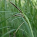"<p><strong>Carex obnupta - Slough Sedge</strong></p><p><strong>Light: </strong><img src=""http://champoegnursery.com/wp-content/uploads/2014/09/icon_full_sun.gif""/> / <img src=""http://champoegnursery.com/wp-content/uploads/2014/09/icon_partial_shade.gif""/></p><p> <strong>Water: <img src=""http://champoegnursery.com/wp-content/uploads/2014/09/icon_wet.gif""/> / <img src=""http://champoegnursery.com/wp-content/uploads/2014/09/icon_moist.gif""/></p> <p> Max Height: </strong> 48  in. <strong> Max Width: </strong> 48  in. </p><p><strong>Description: </strong>This is an evergreen tufted sedge with flat leaves. <strong>Zone: </strong>  7-9</p><p>    <img src=""http://champoegnursery.com/wp-content/uploads/2014/09/icon_wildlife.gif""/></p>"