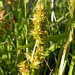 "<p><strong>Carex stipata - Saw-Beaked Sedge</strong></p><p><strong>Light: </strong><img src=""http://champoegnursery.com/wp-content/uploads/2014/09/icon_full_sun.gif""/> / <img src=""http://champoegnursery.com/wp-content/uploads/2014/09/icon_partial_shade.gif""/></p><p> <strong>Water: <img src=""http://champoegnursery.com/wp-content/uploads/2014/09/icon_wet.gif""/> / <img src=""http://champoegnursery.com/wp-content/uploads/2014/09/icon_moist.gif""/></p> <p> Max Height: </strong> 24  in. <strong> Max Width: </strong> 12  in. </p><p><strong>Description: </strong>This is a tufted sedge that has yellowish green leaves. <strong>Zone: </strong>  7-9</p><p>    <img src=""http://champoegnursery.com/wp-content/uploads/2014/09/icon_wildlife.gif""/></p>"