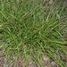 <p><strong>Carex tumulicola - Foothill Sedge</strong></p>