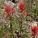 "<p><strong>Castilleja miniata - Indian Paintbrush</strong></p><p><strong>Light: </strong><img src=""http://champoegnursery.com/wp-content/uploads/2014/09/icon_full_sun.gif""/> / <img src=""http://champoegnursery.com/wp-content/uploads/2014/09/icon_partial_shade.gif""/></p><p> <strong>Water: <img src=""http://champoegnursery.com/wp-content/uploads/2014/09/icon_dry.gif""/> / <img src=""http://champoegnursery.com/wp-content/uploads/2014/09/icon_moist.gif""/></p> <p> Max Height: </strong> 12  in. <strong> Max Width: </strong> 9  in. </p><p><strong>Description: </strong>A herbaceous perennial with striking red and yellow colors. <strong>Zone: </strong>  7-9</p><p><img src=""http://champoegnursery.com/wp-content/uploads/2014/09/icon_butterfly.gif""/>    </p>"