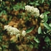 "<p><strong>Ceanothus integerrimus - Deerbrush</strong></p><p><strong>Light: </strong><img src=""http://champoegnursery.com/wp-content/uploads/2014/09/icon_full_sun.gif""/>  </p><p> <strong>Water: <img src=""http://champoegnursery.com/wp-content/uploads/2014/09/icon_dry.gif""/> / <img src=""http://champoegnursery.com/wp-content/uploads/2014/09/icon_moist.gif""/></p> <p> Max Height: </strong> 3� <strong> Max Width: </strong> 12� </p><p><strong>Description: </strong>A deciduous, drought tolerant shrub with creamy white flowers and nitrogen - fixing roots. <strong>Zone: </strong>  5-9</p><p><img src=""http://champoegnursery.com/wp-content/uploads/2014/09/icon_butterfly.gif""/>    <img src=""http://champoegnursery.com/wp-content/uploads/2014/09/icon_wildlife.gif""/></p>"