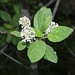 "<p><strong>Ceanothus sanguineus - Redstem Ceanothus</strong></p><p><strong>Light: </strong><img src=""http://champoegnursery.com/wp-content/uploads/2014/09/icon_full_sun.gif""/> / <img src=""http://champoegnursery.com/wp-content/uploads/2014/09/icon_partial_shade.gif""/></p><p> <strong>Water: <img src=""http://champoegnursery.com/wp-content/uploads/2014/09/icon_dry.gif""/></p> <p> Max Height: </strong> 8 ft. <strong> Max Width: </strong> 8 ft. </p><p><strong>Description: </strong>This shrub displays fragrant white flowers and has red/purple stems. <strong>Zone: </strong> 5</p><p><img src=""http://champoegnursery.com/wp-content/uploads/2014/09/icon_butterfly.gif""/>    <img src=""http://champoegnursery.com/wp-content/uploads/2014/09/icon_wildlife.gif""/></p>"