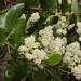 "<p><strong>Ceanothus velutinus - Snowbrush</strong></p><p><strong>Light: </strong><img src=""http://champoegnursery.com/wp-content/uploads/2014/09/icon_full_sun.gif""/> / <img src=""http://champoegnursery.com/wp-content/uploads/2014/09/icon_partial_shade.gif""/></p><p> <strong>Water: <img src=""http://champoegnursery.com/wp-content/uploads/2014/09/icon_dry.gif""/> / <img src=""http://champoegnursery.com/wp-content/uploads/2014/09/icon_moist.gif""/></p> <p> Max Height: </strong> 12� <strong> Max Width: </strong> 8� </p><p><strong>Description: </strong>A deciduous, shrub with creamy white flowers, glossy leaves and nitrogen - fixing roots. Common after fires. <strong>Zone: </strong>  7-10</p><p><img src=""http://champoegnursery.com/wp-content/uploads/2014/09/icon_butterfly.gif""/>    <img src=""http://champoegnursery.com/wp-content/uploads/2014/09/icon_wildlife.gif""/></p>"