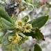 "<p><strong>Cercocarpus ledifolius - Curl-leaf Mountain Mahogony</strong></p><p><strong>Light: </strong><img src=""http://champoegnursery.com/wp-content/uploads/2014/09/icon_full_sun.gif""/> / <img src=""http://champoegnursery.com/wp-content/uploads/2014/09/icon_partial_shade.gif""/></p><p> <strong>Water: <img src=""http://champoegnursery.com/wp-content/uploads/2014/09/icon_dry.gif""/></p> <p> Max Height: </strong> 20 ft. <strong> Max Width: </strong> 15 ft. </p><p><strong>Description: </strong>Evergreen small tree or large shrub with reddish bark and twigs and attractive feathery fruit. <strong>Zone: </strong>  7-9</p><p>    <img src=""http://champoegnursery.com/wp-content/uploads/2014/09/icon_wildlife.gif""/></p>"