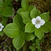"<p><strong>Cornus canadensis - Bunchberry</strong></p><p><strong>Light: </strong>Full / <img src=""http://champoegnursery.com/wp-content/uploads/2014/09/icon_partial_shade.gif""/></p><p> <strong>Water: <img src=""http://champoegnursery.com/wp-content/uploads/2014/09/icon_moist.gif""/></p> <p> Max Height: </strong> 6  in. <strong> Max Width: </strong> 18  in. </p><p><strong>Description: </strong>A low-growing, mat-forming deciduous ground cover with tiny white clustered flowers that are surrounded by four large white bracts, giving the appearance of a single blossom. <strong>Zone: </strong>  7-9</p><p><img src=""http://champoegnursery.com/wp-content/uploads/2014/09/icon_butterfly.gif""/>    <img src=""http://champoegnursery.com/wp-content/uploads/2014/09/icon_wildlife.gif""/></p>"