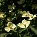 "<p><strong>Cornus nuttallii - Pacific Dogwood</strong></p><p><strong>Light: </strong><img src=""http://champoegnursery.com/wp-content/uploads/2014/09/icon_full_sun.gif""/> / <img src=""http://champoegnursery.com/wp-content/uploads/2014/09/icon_partial_shade.gif""/></p><p> <strong>Water: <img src=""http://champoegnursery.com/wp-content/uploads/2014/09/icon_moist.gif""/></p> <p> Max Height: </strong> 60 ft. <strong> Max Width: </strong> 25 ft. </p><p><strong>Description: </strong>This flowering deciduous tree displays smaller flowers that are surrounded by whitish bracts.  Also displays orange/red fruit. <strong>Zone: </strong>  4-6</p><p><img src=""http://champoegnursery.com/wp-content/uploads/2014/09/icon_butterfly.gif""/>    <img src=""http://champoegnursery.com/wp-content/uploads/2014/09/icon_wildlife.gif""/></p>"