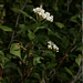 "<p><strong>Crataegus douglasii - Oregon Hawthorn</strong></p><p><strong>Light: </strong><img src=""http://champoegnursery.com/wp-content/uploads/2014/09/icon_partial_shade.gif""/></p><p> <strong>Water: <img src=""http://champoegnursery.com/wp-content/uploads/2014/09/icon_wet.gif""/>/<img src=""http://champoegnursery.com/wp-content/uploads/2014/09/icon_moist.gif""/>/<img src=""http://champoegnursery.com/wp-content/uploads/2014/09/icon_dry.gif""/></p> <p> Max Height: </strong> 20� <strong> Max Width: </strong> 10� </p><p><strong>Description: </strong>This tall, thorny shrub has white flowers in the spring and clusters of dark purple fruit in the summer. Can thrive in a wide variety of habitats. <strong>Zone: </strong>  3-9</p><p><img src=""http://champoegnursery.com/wp-content/uploads/2014/09/icon_butterfly.gif""/>    <img src=""http://champoegnursery.com/wp-content/uploads/2014/09/icon_wildlife.gif""/></p>"