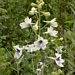 "<p><strong>Delphinium pavonaceum - Peacock Larkspur</strong></p><p><strong>Light: </strong><img src=""http://champoegnursery.com/wp-content/uploads/2014/09/icon_full_sun.gif""/>  </p><p> <strong>Water: <img src=""http://champoegnursery.com/wp-content/uploads/2014/09/icon_moist.gif""/></p> <p> Max Height: </strong> 3 ft. <strong> Max Width: </strong> 6 in. </p><p><strong>Description: </strong>A hybrid larkspur found only in the Willamette Valley, it has numerous white flowers with purple centers,aturalizes easily from seed, and can tolerate drought and flooding when planted in well-drained soil. <strong>Zone: </strong> 8</p><p><img src=""http://champoegnursery.com/wp-content/uploads/2014/09/icon_butterfly.gif""/>  <img src=""http://champoegnursery.com/wp-content/uploads/2014/09/icon_hummingbird.gif""/>  </p>"