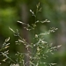 "<p><strong>Deschampsia caespitosa - Tufted Hair Grass</strong></p><p><strong>Light: </strong><img src=""http://champoegnursery.com/wp-content/uploads/2014/09/icon_full_sun.gif""/> / <img src=""http://champoegnursery.com/wp-content/uploads/2014/09/icon_partial_shade.gif""/></p><p> <strong>Water: <img src=""http://champoegnursery.com/wp-content/uploads/2014/09/icon_wet.gif""/> / <img src=""http://champoegnursery.com/wp-content/uploads/2014/09/icon_moist.gif""/></p> <p> Max Height: </strong> 48  in. <strong> Max Width: </strong> 24  in. </p><p><strong>Description: </strong>This is a tall perennial bunch grass with hair-like tufts of seeds branching out at the top of the plant. <strong>Zone: </strong> 4</p><p>    <img src=""http://champoegnursery.com/wp-content/uploads/2014/09/icon_wildlife.gif""/></p>"
