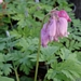 <p><strong>Dicentra formosa - Western Bleeding Heart</strong></p>