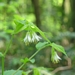 "<p><strong>Disporum hookeri - Fairy Bells</strong></p><p><strong>Light: </strong>Full / <img src=""http://champoegnursery.com/wp-content/uploads/2014/09/icon_partial_shade.gif""/></p><p> <strong>Water: <img src=""http://champoegnursery.com/wp-content/uploads/2014/09/icon_moist.gif""/></p> <p> Max Height: </strong> 24  in. <strong> Max Width: </strong> 12  in. </p><p><strong>Description: </strong>This perennial grows from a stout rhizome and has broad bell-shaped leaves that are green in color and white flowers that appear in late spring and early summer and hang downward from the tops of the stems. <strong>Zone: </strong>  7-9</p><p><img src=""http://champoegnursery.com/wp-content/uploads/2014/09/icon_butterfly.gif""/>    <img src=""http://champoegnursery.com/wp-content/uploads/2014/09/icon_wildlife.gif""/></p>"