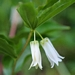 <p><strong>Disporum smithii - Fairy Lantern</strong></p>