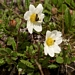 "<p><strong>Dryas octopetala - Mountain Avens</strong></p><p><strong>Light: </strong><img src=""http://champoegnursery.com/wp-content/uploads/2014/09/icon_full_sun.gif""/> / <img src=""http://champoegnursery.com/wp-content/uploads/2014/09/icon_partial_shade.gif""/></p><p> <strong>Water: <img src=""http://champoegnursery.com/wp-content/uploads/2014/09/icon_dry.gif""/></p> <p> Max Height: </strong> 4  in. <strong> Max Width: </strong> 12  in. </p><p><strong>Description: </strong>A high elevation, mat-forming perennial with whitish cream flowers that appear in late-spring to early summer and dark green evergreen foliage. The seed heads form as airy white tufts and emerge in late summer. <strong>Zone: </strong>  7-9</p><p><img src=""http://champoegnursery.com/wp-content/uploads/2014/09/icon_butterfly.gif""/>    <img src=""http://champoegnursery.com/wp-content/uploads/2014/09/icon_wildlife.gif""/></p>"