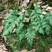 "<p><strong>Dryopteris austriaca - Wood Fern</strong></p><p><strong>Light: </strong>Full / <img src=""http://champoegnursery.com/wp-content/uploads/2014/09/icon_partial_shade.gif""/></p><p> <strong>Water: <img src=""http://champoegnursery.com/wp-content/uploads/2014/09/icon_wet.gif""/> / <img src=""http://champoegnursery.com/wp-content/uploads/2014/09/icon_moist.gif""/></p> <p> Max Height: </strong> 36  in. <strong> Max Width: </strong> 36  in. </p><p><strong>Description: </strong>A low elevation deciduous woodland fern with lacy fronds. <strong>Zone: </strong>  7-9</p><p>    </p>"