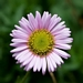 "<p><strong>Erigeron glaucus - Beach Fleabane</strong></p><p><strong>Light: </strong><img src=""http://champoegnursery.com/wp-content/uploads/2014/09/icon_full_sun.gif""/> / <img src=""http://champoegnursery.com/wp-content/uploads/2014/09/icon_partial_shade.gif""/></p><p> <strong>Water: <img src=""http://champoegnursery.com/wp-content/uploads/2014/09/icon_dry.gif""/> / <img src=""http://champoegnursery.com/wp-content/uploads/2014/09/icon_moist.gif""/></p> <p> Max Height: </strong> 18  in. <strong> Max Width: </strong> 18  in. </p><p><strong>Description: </strong>A low growing showy perennial that sometimes spreads to form mounds.  It displays purple and yellow flowers that appear throughout the summer. <strong>Zone: </strong>  7-9</p><p><img src=""http://champoegnursery.com/wp-content/uploads/2014/09/icon_butterfly.gif""/>    <img src=""http://champoegnursery.com/wp-content/uploads/2014/09/icon_wildlife.gif""/></p>"