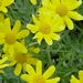 "<p><strong>Eriophyllum lanatum - Wooly Sunshine</strong></p><p><strong>Light: </strong><img src=""http://champoegnursery.com/wp-content/uploads/2014/09/icon_full_sun.gif""/> / <img src=""http://champoegnursery.com/wp-content/uploads/2014/09/icon_partial_shade.gif""/></p><p> <strong>Water: <img src=""http://champoegnursery.com/wp-content/uploads/2014/09/icon_dry.gif""/></p> <p> Max Height: </strong> 12  in. <strong> Max Width: </strong> 12  in. </p><p><strong>Description: </strong>Perennial herbaceous plant with alternate silvery green leaves and yellow daisy-like flowers. <strong>Zone: </strong>  7-9</p><p><img src=""http://champoegnursery.com/wp-content/uploads/2014/09/icon_butterfly.gif""/>    <img src=""http://champoegnursery.com/wp-content/uploads/2014/09/icon_wildlife.gif""/></p>"