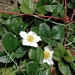 <p><strong>Fragaria chiloensis - Coast Strawberry</strong></p>