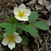 <p><strong>Fragaria vesca - Wood Strawberry</strong></p>