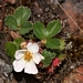 "<p><strong>Fragaria virginiana - Mountain Strawberry</strong></p><p><strong>Light: </strong><img src=""http://champoegnursery.com/wp-content/uploads/2014/09/icon_partial_shade.gif""/></p><p> <strong>Water: <img src=""http://champoegnursery.com/wp-content/uploads/2014/09/icon_dry.gif""/> / <img src=""http://champoegnursery.com/wp-content/uploads/2014/09/icon_moist.gif""/></p> <p> Max Height: </strong> 4  in. <strong> Max Width: </strong> 24  in. </p><p><strong>Description: </strong>This strawberry is drought tolerant, sends out runners and provides ground cover. <strong>Zone: </strong>  3-6</p><p><img src=""http://champoegnursery.com/wp-content/uploads/2014/09/icon_butterfly.gif""/>    <img src=""http://champoegnursery.com/wp-content/uploads/2014/09/icon_wildlife.gif""/></p>"