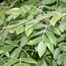 "<p><strong>Fraxinus latifolia - Oregon Ash</strong></p><p><strong>Light: </strong><img src=""http://champoegnursery.com/wp-content/uploads/2014/09/icon_full_sun.gif""/> / <img src=""http://champoegnursery.com/wp-content/uploads/2014/09/icon_partial_shade.gif""/></p><p> <strong>Water: <img src=""http://champoegnursery.com/wp-content/uploads/2014/09/icon_wet.gif""/> / <img src=""http://champoegnursery.com/wp-content/uploads/2014/09/icon_moist.gif""/></p> <p> Max Height: </strong> 80 ft. <strong> Max Width: </strong> 30 ft. </p><p><strong>Description: </strong>This deciduous tree usually grows near streams where it provides canopy cover.  It will spread more when in the open and less when crowded. <strong>Zone: </strong> 7</p><p><img src=""http://champoegnursery.com/wp-content/uploads/2014/09/icon_butterfly.gif""/>    </p>"