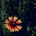 "<p><strong>Gaillardia aristata - Blanket Flower</strong></p><p><strong>Light: </strong><img src=""http://champoegnursery.com/wp-content/uploads/2014/09/icon_full_sun.gif""/> / <img src=""http://champoegnursery.com/wp-content/uploads/2014/09/icon_partial_shade.gif""/></p><p> <strong>Water: <img src=""http://champoegnursery.com/wp-content/uploads/2014/09/icon_dry.gif""/> / <img src=""http://champoegnursery.com/wp-content/uploads/2014/09/icon_moist.gif""/></p> <p> Max Height: </strong> 18  in. <strong> Max Width: </strong> 24  in. </p><p><strong>Description: </strong>A long-blooming perennial commonly occurring on prairies, dry meadows, and open woods.  The yellow and brown flowers begin blooming in the summer and can continue into the fall. <strong>Zone: </strong>  7-9</p><p><img src=""http://champoegnursery.com/wp-content/uploads/2014/09/icon_butterfly.gif""/>    <img src=""http://champoegnursery.com/wp-content/uploads/2014/09/icon_wildlife.gif""/></p>"