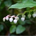 "<p><strong>Gaultheria shallon - Salal</strong></p><p><strong>Light: </strong><img src=""http://champoegnursery.com/wp-content/uploads/2014/09/icon_partial_shade.gif""/></p><p> <strong>Water: <img src=""http://champoegnursery.com/wp-content/uploads/2014/09/icon_dry.gif""/> / <img src=""http://champoegnursery.com/wp-content/uploads/2014/09/icon_moist.gif""/></p> <p> Max Height: </strong> 12 ft. <strong> Max Width: </strong> 12 ft. </p><p><strong>Description: </strong>A low-growing evergreen shrub with large alternate and egg shaped leaves that have fine teeth on the margin. Its flowers are pink clusters that begin appearing in late spring or early summer. <strong>Zone: </strong>  7-9</p><p><img src=""http://champoegnursery.com/wp-content/uploads/2014/09/icon_butterfly.gif""/>    <img src=""http://champoegnursery.com/wp-content/uploads/2014/09/icon_wildlife.gif""/></p>"