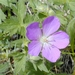 "<p><strong>Geranium oreganum - Oregon Geranium</strong></p><p><strong>Light: </strong><img src=""http://champoegnursery.com/wp-content/uploads/2014/09/icon_full_sun.gif""/> / <img src=""http://champoegnursery.com/wp-content/uploads/2014/09/icon_partial_shade.gif""/></p><p> <strong>Water: <img src=""http://champoegnursery.com/wp-content/uploads/2014/09/icon_moist.gif""/></p> <p> Max Height: </strong> 24� <strong> Max Width: </strong> 12� </p><p><strong>Description: </strong>A perennial forb that spreads easily. It has showy pink flowers from May to July on tall stalks and fuzzy green leaves that persist until frost. <strong>Zone: </strong>  7-8</p><p><img src=""http://champoegnursery.com/wp-content/uploads/2014/09/icon_butterfly.gif""/>    <img src=""http://champoegnursery.com/wp-content/uploads/2014/09/icon_wildlife.gif""/></p>"