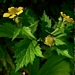 "<p><strong>Geum macrophyllum - Oregon Avens</strong></p><p><strong>Light: </strong><img src=""http://champoegnursery.com/wp-content/uploads/2014/09/icon_full_sun.gif""/> / <img src=""http://champoegnursery.com/wp-content/uploads/2014/09/icon_partial_shade.gif""/></p><p> <strong>Water: <img src=""http://champoegnursery.com/wp-content/uploads/2014/09/icon_dry.gif""/> / <img src=""http://champoegnursery.com/wp-content/uploads/2014/09/icon_moist.gif""/></p> <p> Max Height: </strong> 24  in. <strong> Max Width: </strong> 16  in. </p><p><strong>Description: </strong>This perennial herb has seeds that stick to passer-bys and small yellow flowers. <strong>Zone: </strong> 4</p><p><img src=""http://champoegnursery.com/wp-content/uploads/2014/09/icon_butterfly.gif""/>    <img src=""http://champoegnursery.com/wp-content/uploads/2014/09/icon_wildlife.gif""/></p>"