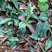 "<p><strong>Goodyera oblongifolia - Rattlesnake Plantain</strong></p><p><strong>Light: </strong><img src=""http://champoegnursery.com/wp-content/uploads/2014/09/icon_partial_shade.gif""/> <img src=""http://champoegnursery.com/wp-content/uploads/2014/09/icon_full_shade.gif""/></p><p> <strong>Water: <img src=""http://champoegnursery.com/wp-content/uploads/2014/09/icon_dry.gif""/> / <img src=""http://champoegnursery.com/wp-content/uploads/2014/09/icon_moist.gif""/></p> <p> Max Height: </strong> 12  in. <strong> Max Width: </strong> 8  in. </p><p><strong>Description: </strong>'A native orchid common in coniferous forests.  The rosette of basal evergreen leaves are often striped or mottled with white.  Its'' greenish-white flowers begin appearing in late summer.' <strong>Zone: </strong>  7-9</p><p>    </p>"